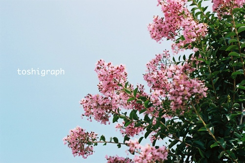 FH000010サルスベリの花.jpg