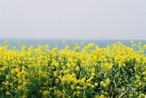 FH000012_4651菜の花.jpg