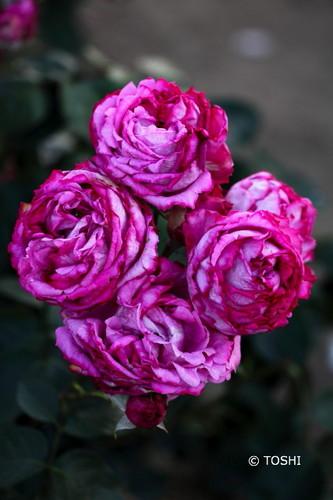 IMG_3535夕暮れの薔薇2.jpg