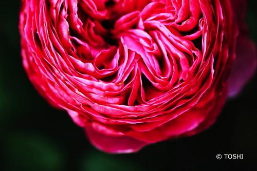 IMG_4365ピンクの薔薇A.jpg