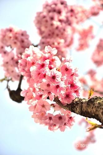 DSC_0396_5013陽光桜.jpg