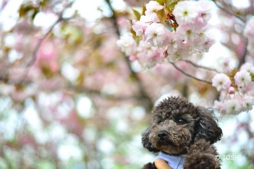 DSC_0654八重桜とanco3.jpg