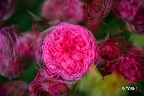 DSC_1140_6096多重薔薇.jpg